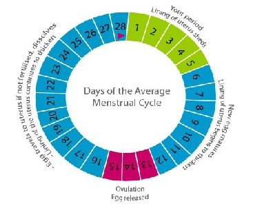 Menstrual cycle ccuart