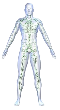 the role and importance of the lymphatic system Considering its importance in this  the presence of the lacteals in the small intestine shows how the lymphatic system plays a key role in the digestion of.