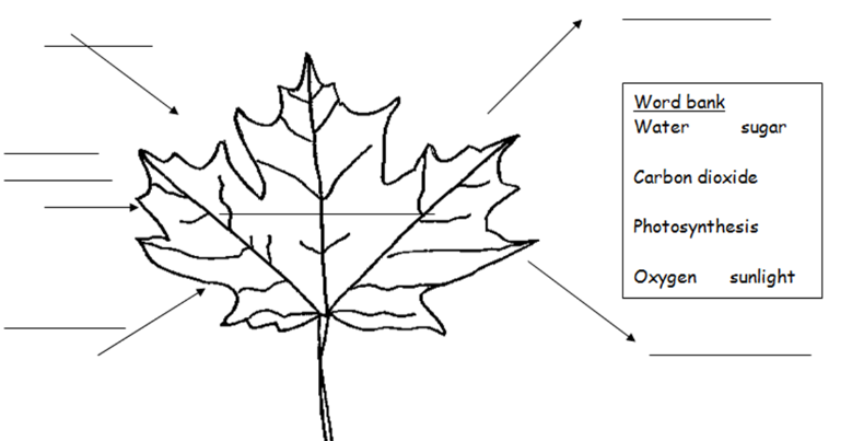 Photosynthesis jnr – Photosynthesis Worksheet