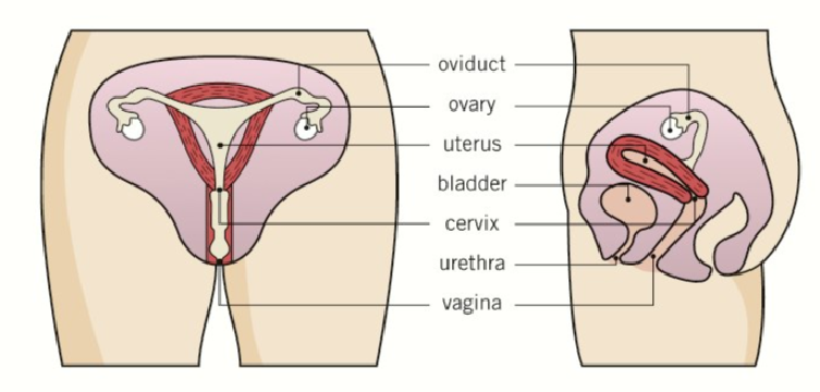 an analysis of the process of fertilization in female body Fertilization process by assisted  inhibition of second polar body extrusion and formation of two female pronuclei  analysis of fertilization, ch 12,.