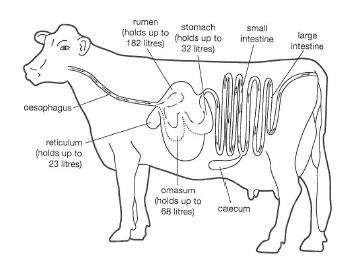 cattle digestive system diagram